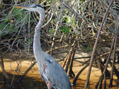 Great Blue Heron as seen on a Banana Bay eco tour