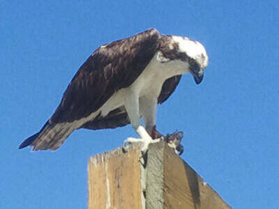 Osprey are found on our cape coral boat tour