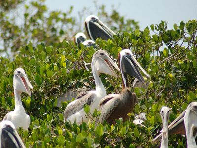pelicans seen on our eco tours in cape coral