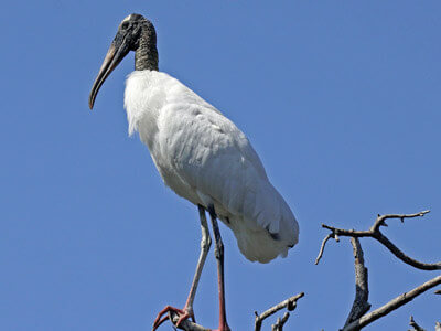 Wood Stork seen on our sunset tour of cape coral